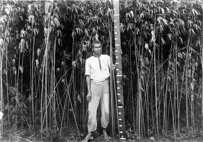 File collectie tropenmuseum met een meetlat laat een man de lengte van het vezelgewas roselle - Amenager een stuk in de lengte ...