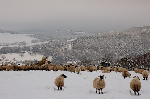 English: Christmas Dinner for the sheep at Edd...