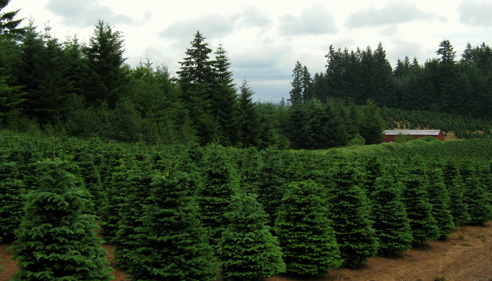 filechristmas trees near redland oregonjpg - How To Start A Christmas Tree Farm