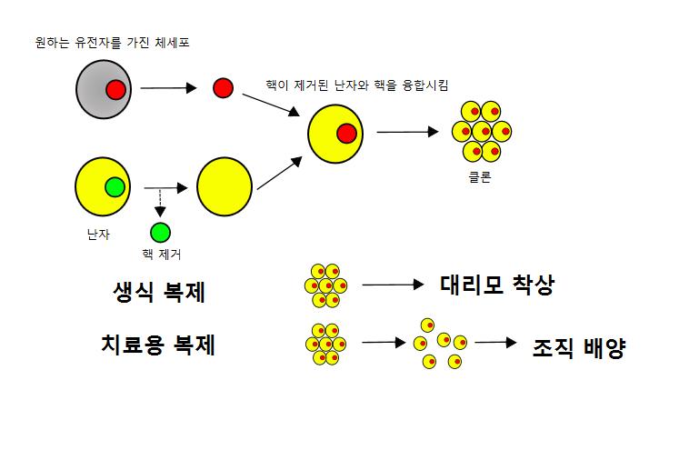 filecloning diagram koreanpng wikimedia commons