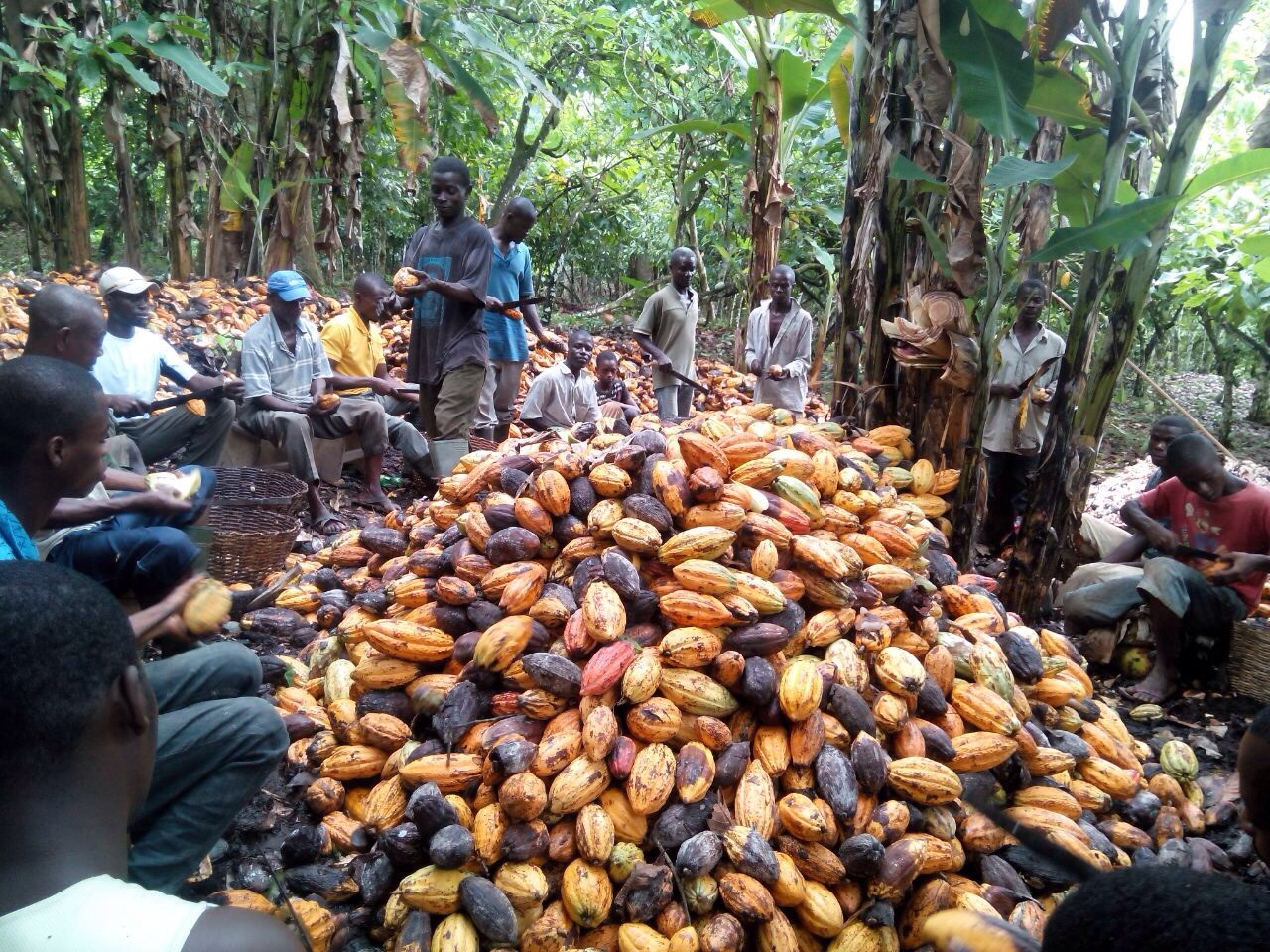 coco farming
