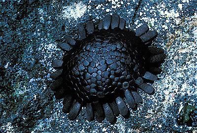 Colobocentrotus atratus Shingle urchin.jpg