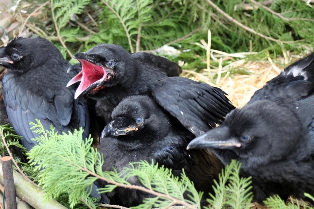 raaf, jonge raven, in nest