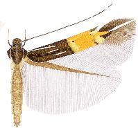 Cosmopterix taygete.JPG