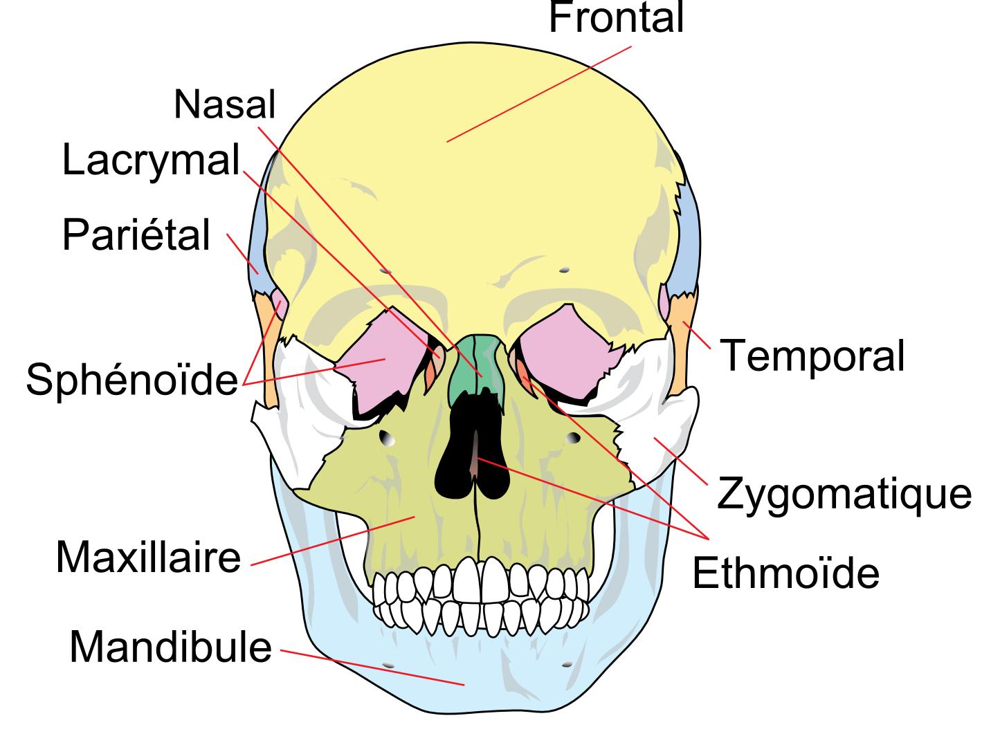 Description crane humain de face
