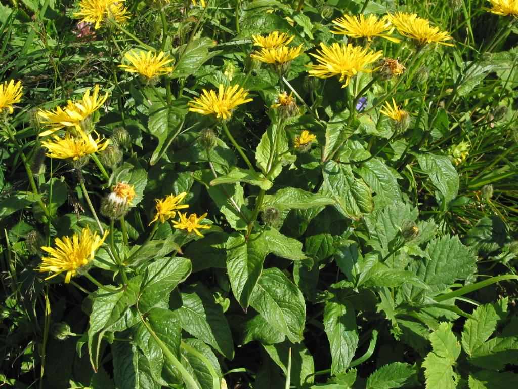 Crepis pyrenaica - Wikidata - Crepis