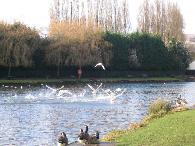 Ducks landing on Cwmbran 'Boating' Lake at Llanyrafon