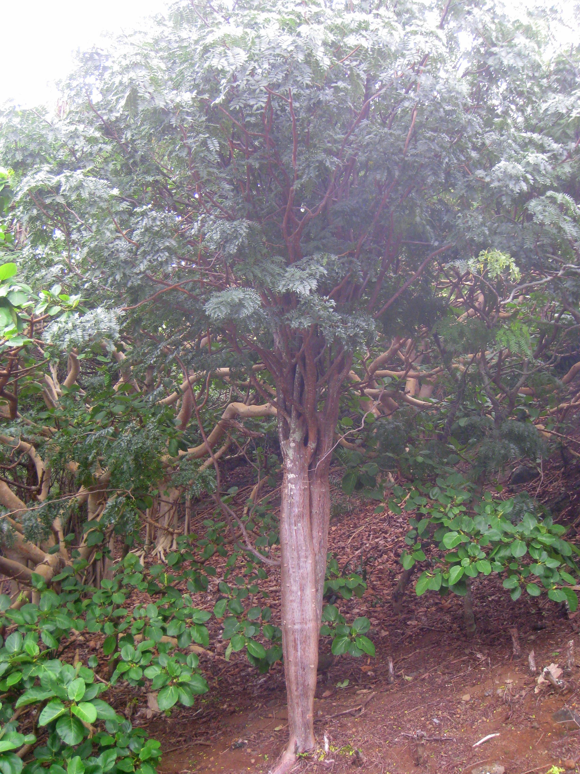 File:Delonix Adansonioides   Koko Crater Botanical Garden   IMG 2291.JPG