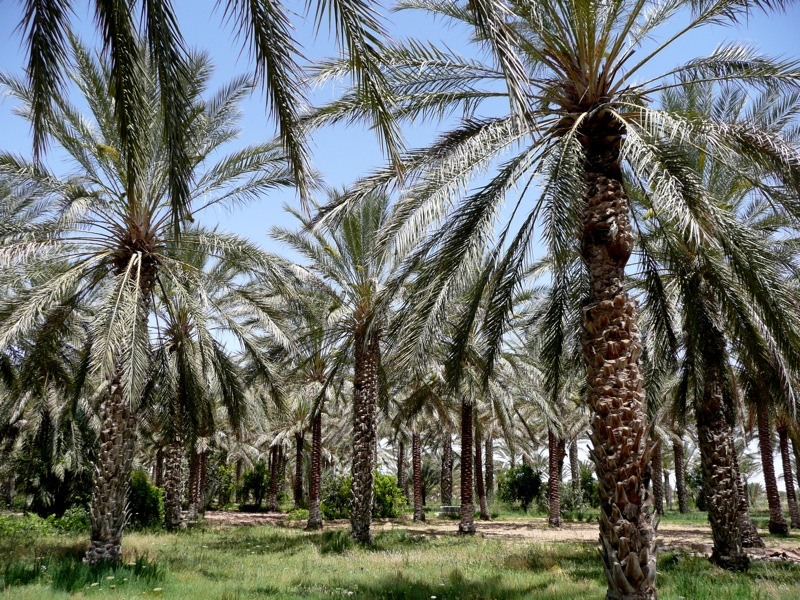 File:Douz palm oasis.jpg