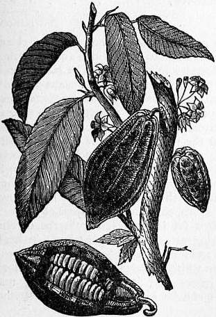 EB1911 Cocoa - Branch of Cocoa Tree.jpg