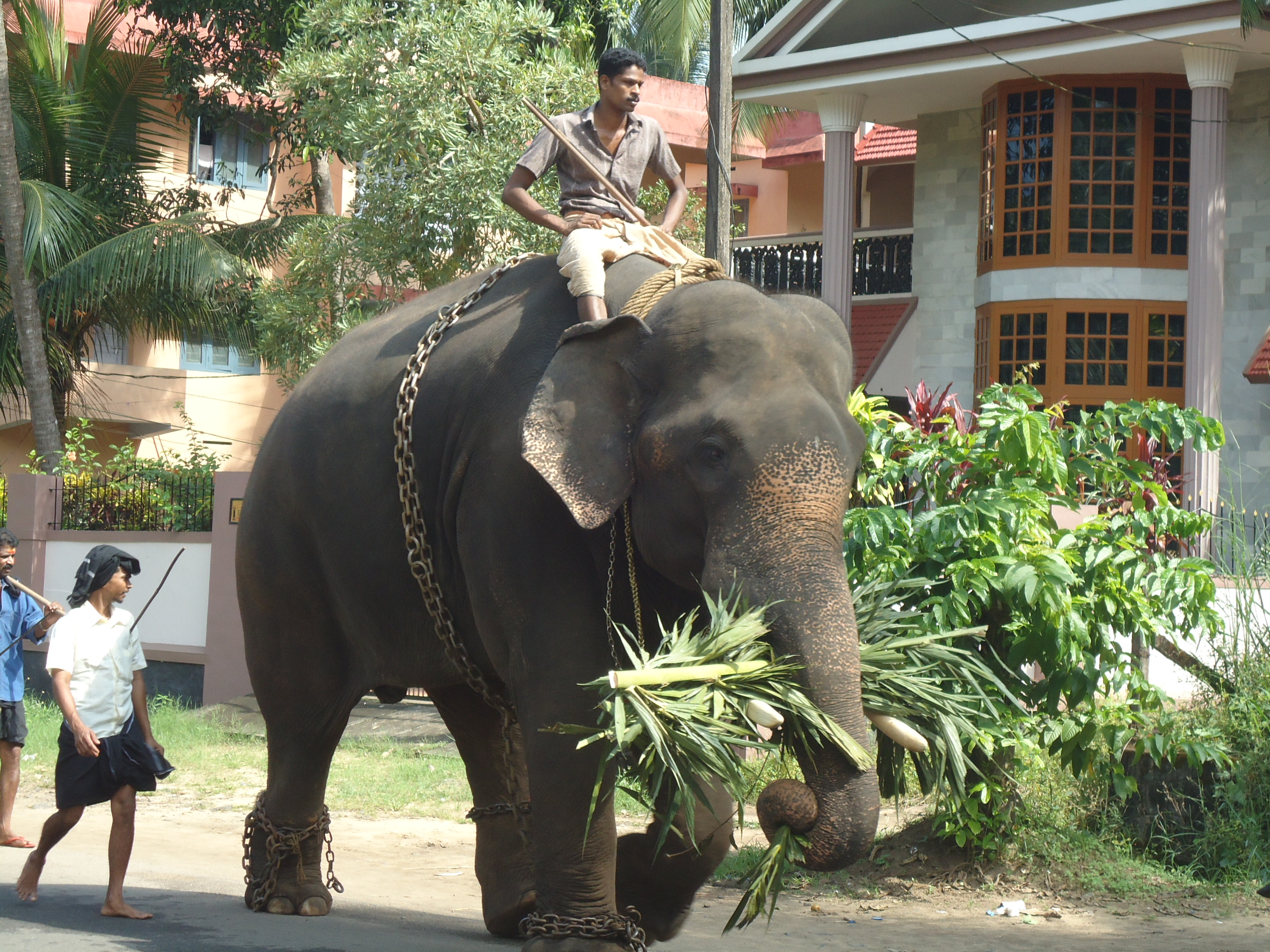 File:Elephant in Kerala with Pappan.JPG - Wikimedia Commons