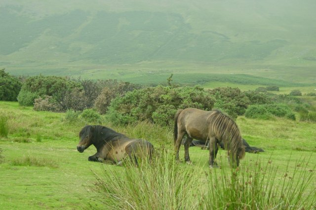 File:Fell ponies at Mungrisdale - geograph.org.uk - 5775.jpg