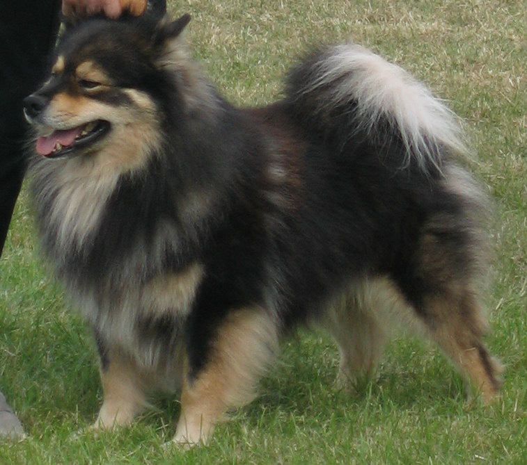 Finnish Lapphund - Wikipedia