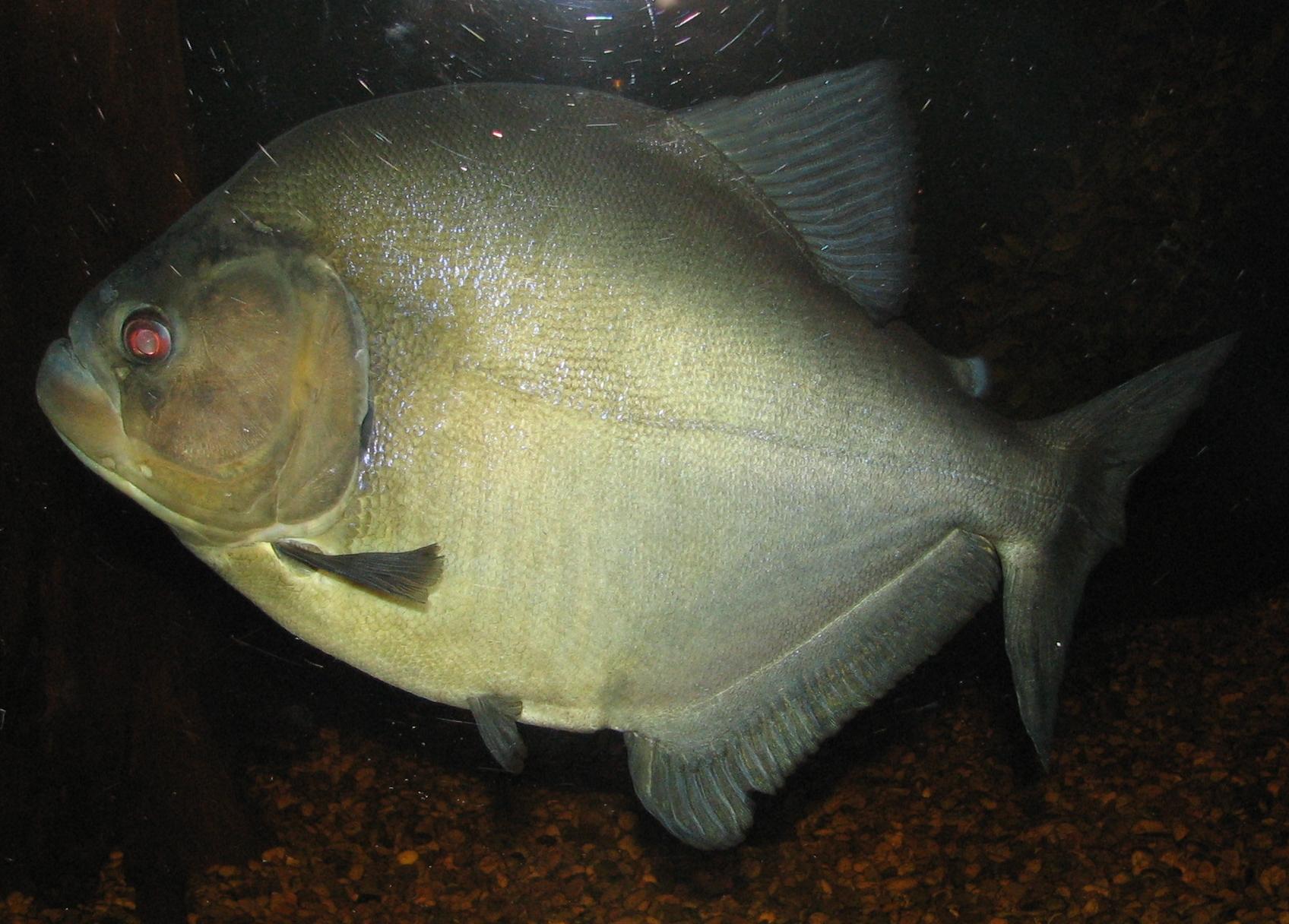 Schwarzer Piranha - Wikiwand