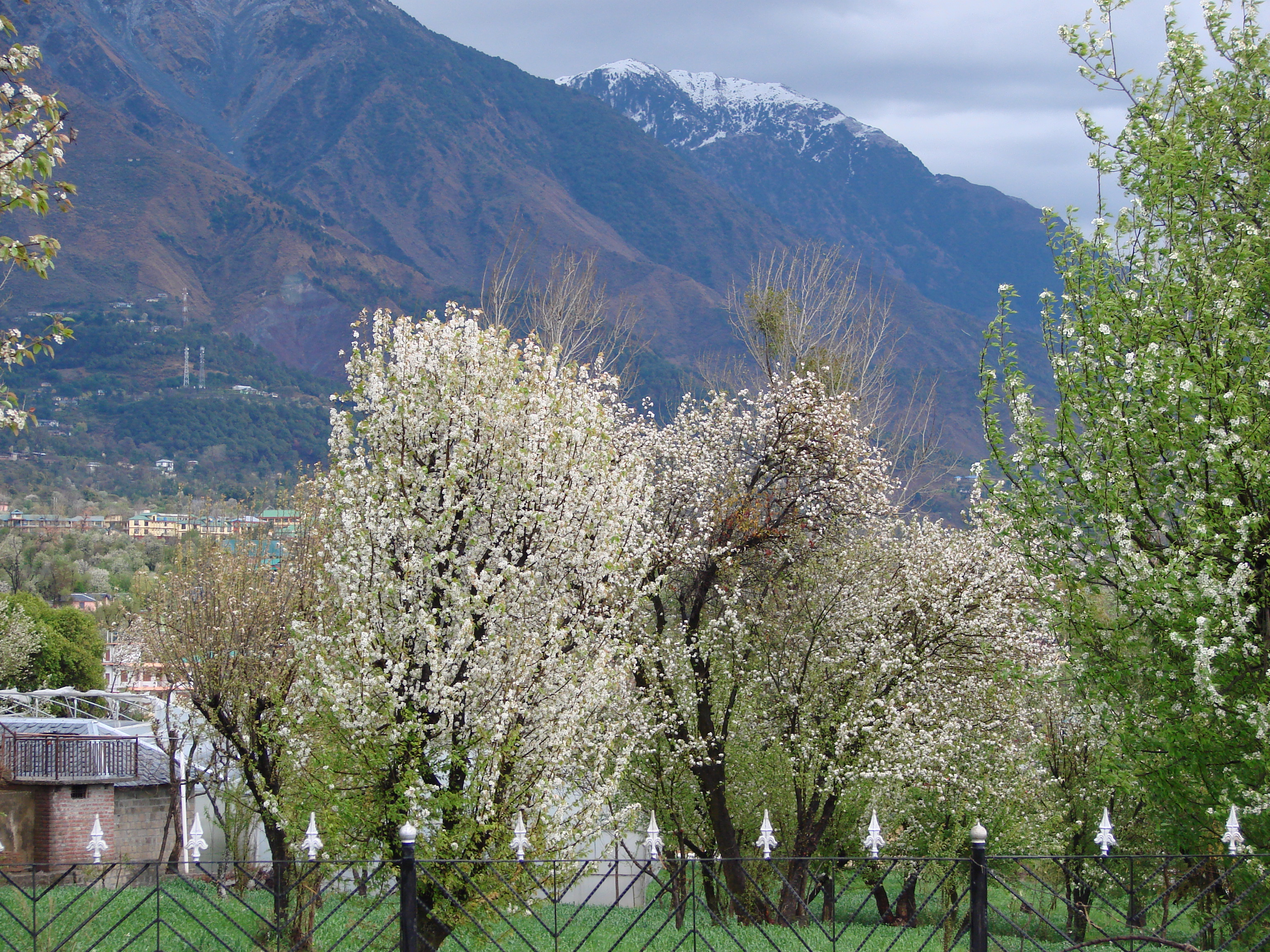 Fileflowering Trees In Spring In Dharamshalahp India Dhauladhar
