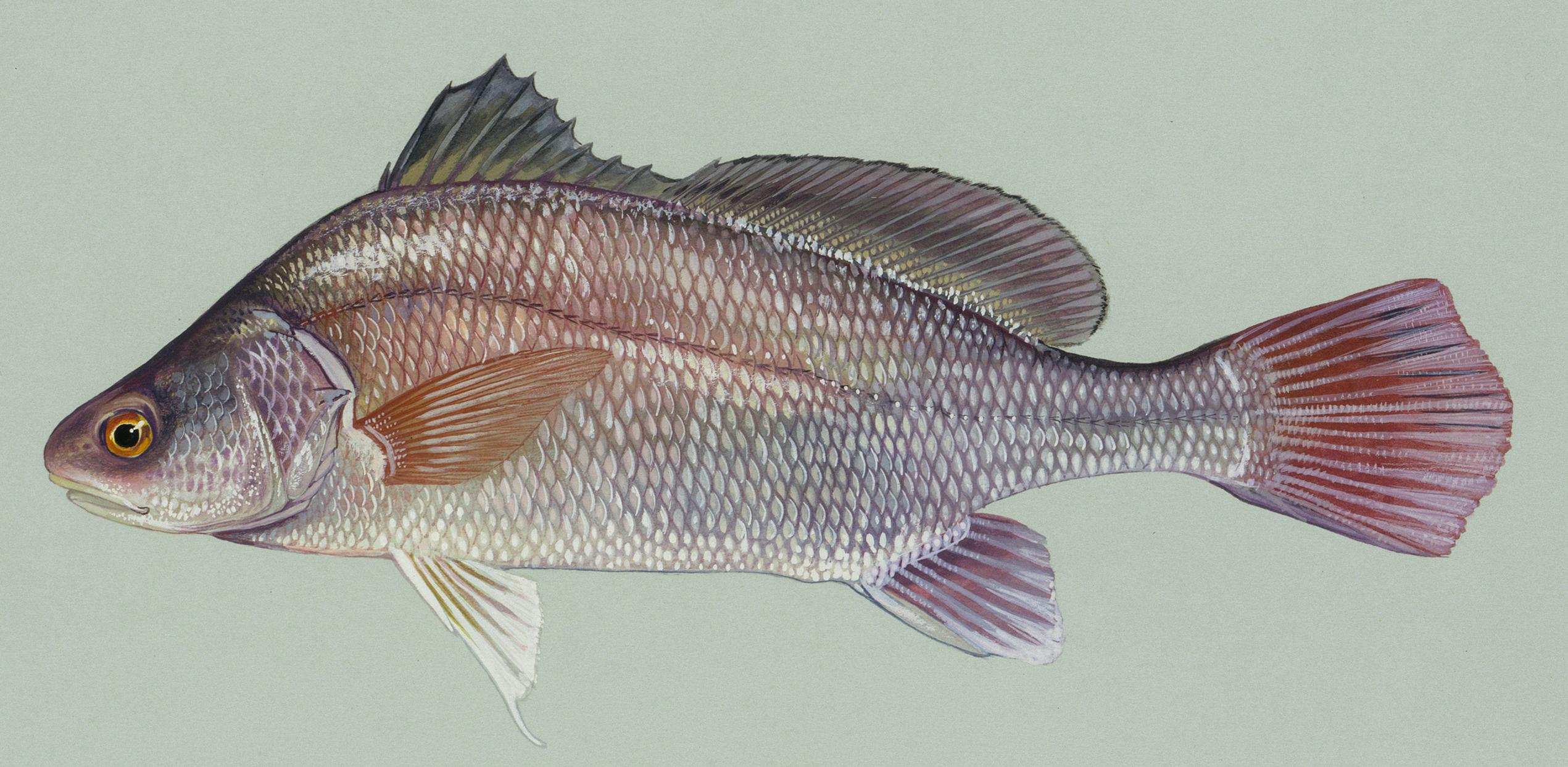 Freshwater drum - Wikipedia