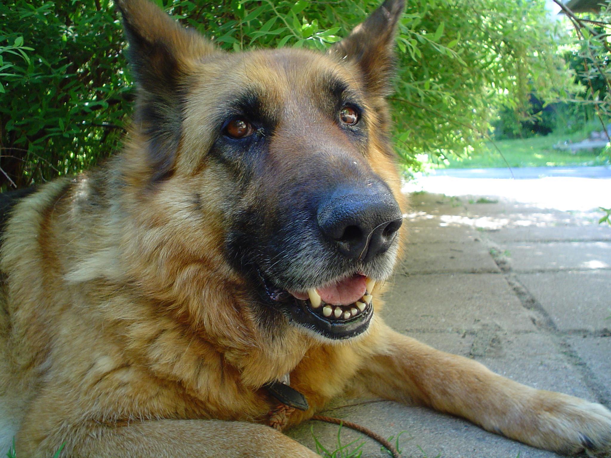 Image Result For German Shepherd Wolf