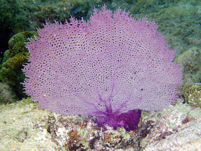 Gorgonia ventalina - Wikipedia