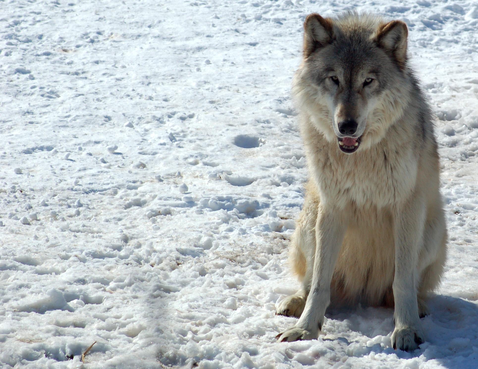 Description gray wolf in minnesota 2