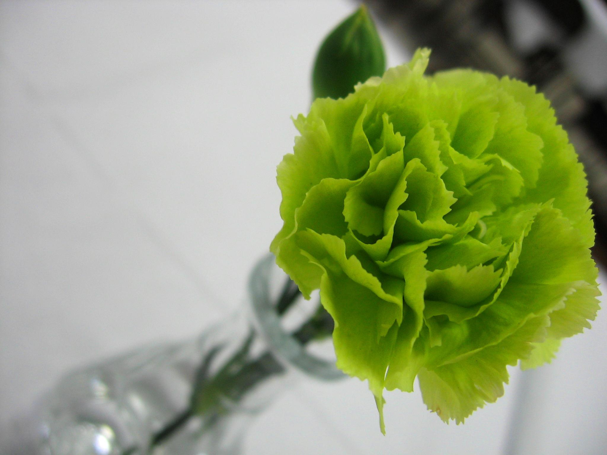 File Green Carnation