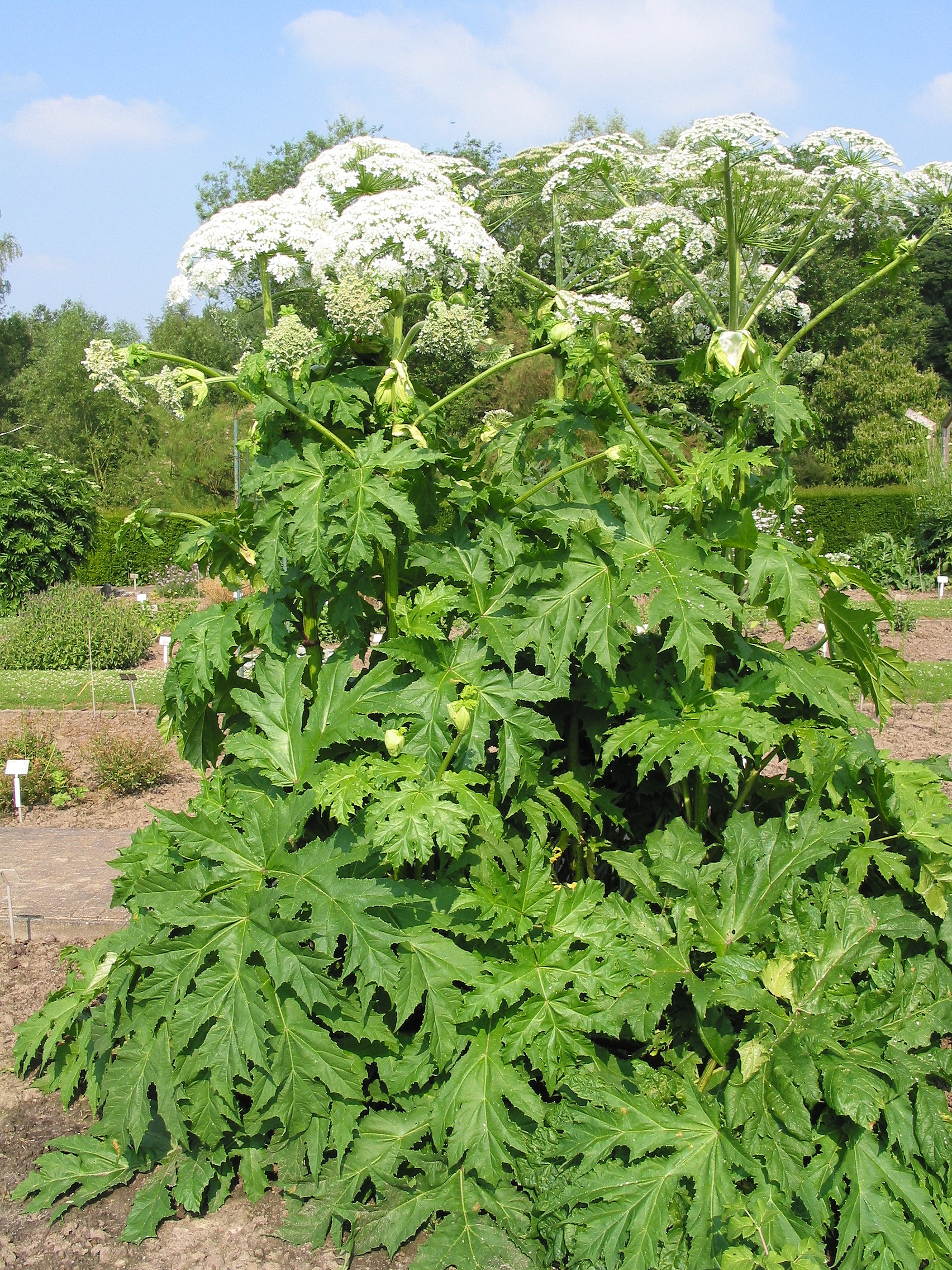 Giant Hogweed Michigan Map.Horsedvm Toxic Plants For Horses Giant Hogweed