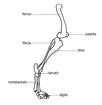 File:Hind limb dog corrected.JPG