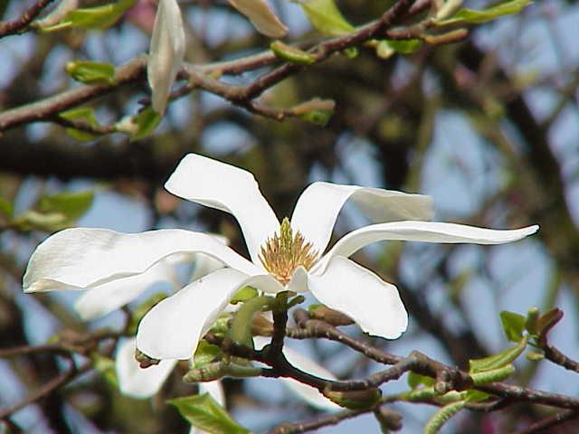 Magnolia japońska