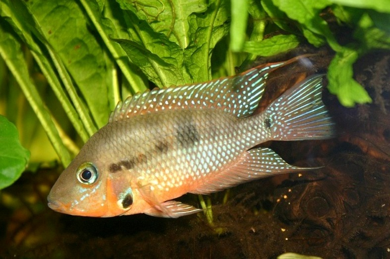 Image result for firemouth fish