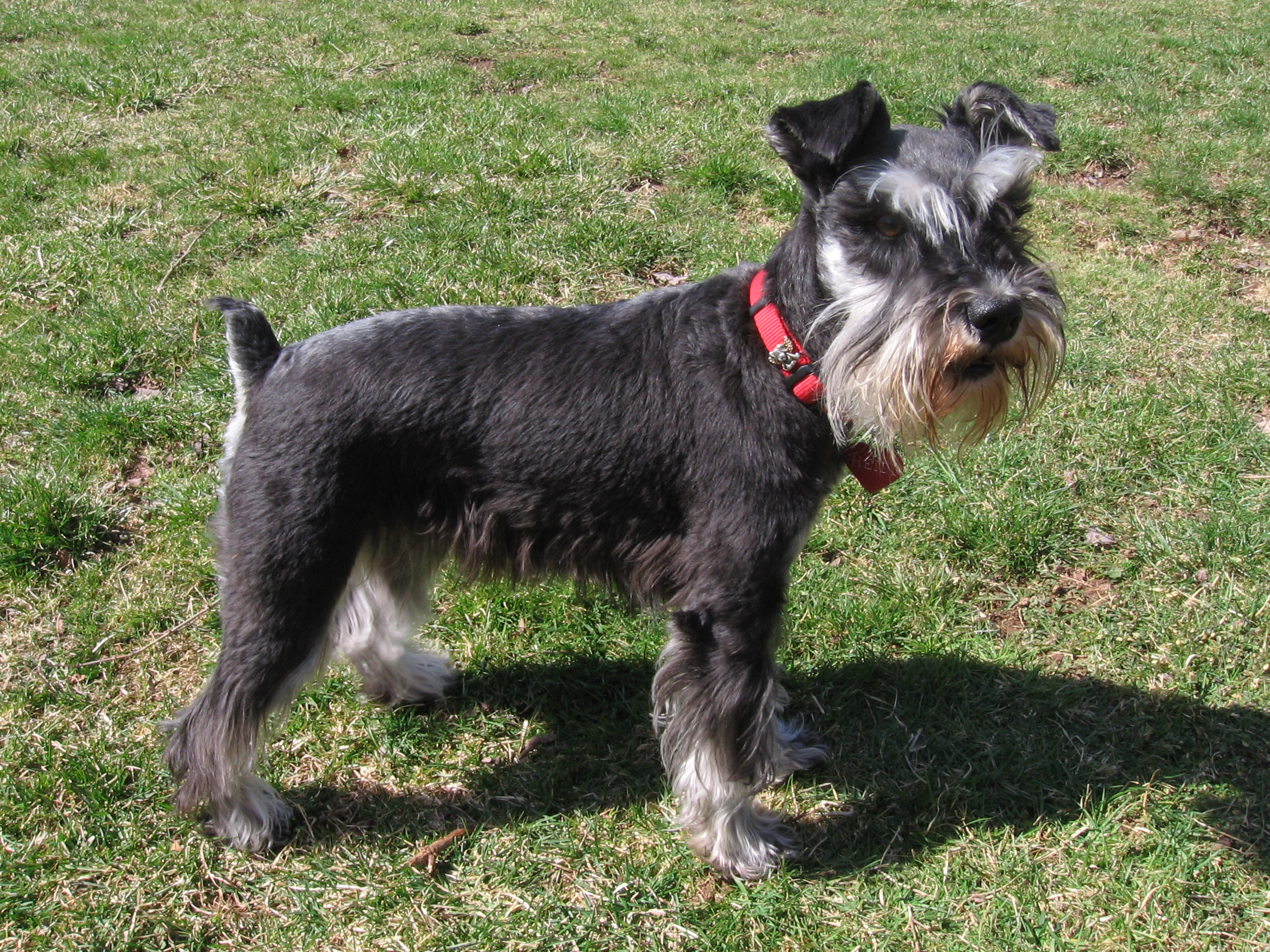 Adult Schnauzer with red dog collar playing in the garden