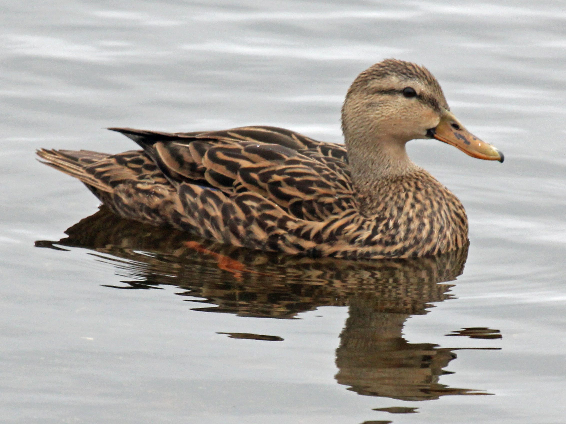 https://upload.wikimedia.org/wikipedia/commons/a/a6/Mottled_Duck_female_RWD2.jpg
