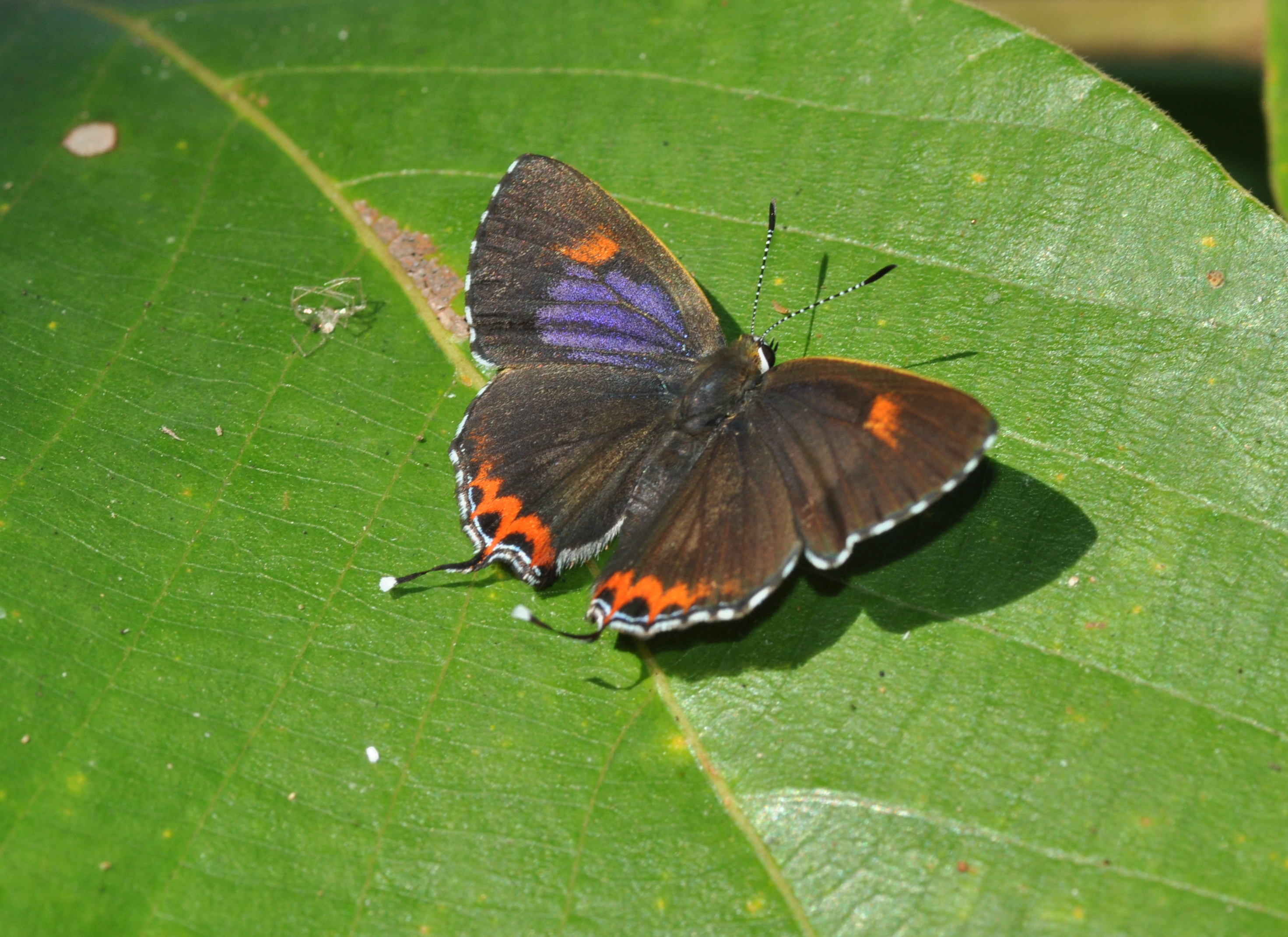 purple of godart epicles file wing sapphire heliophorus wiki position butterfly open