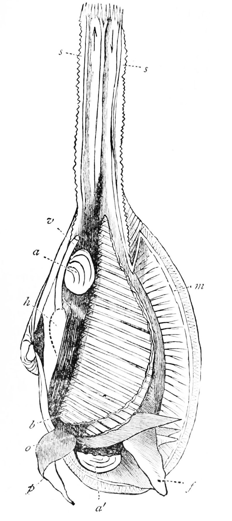 File:PSM V20 D470 Anatomy of a bivalve mollusk.jpg - Wikimedia Commons
