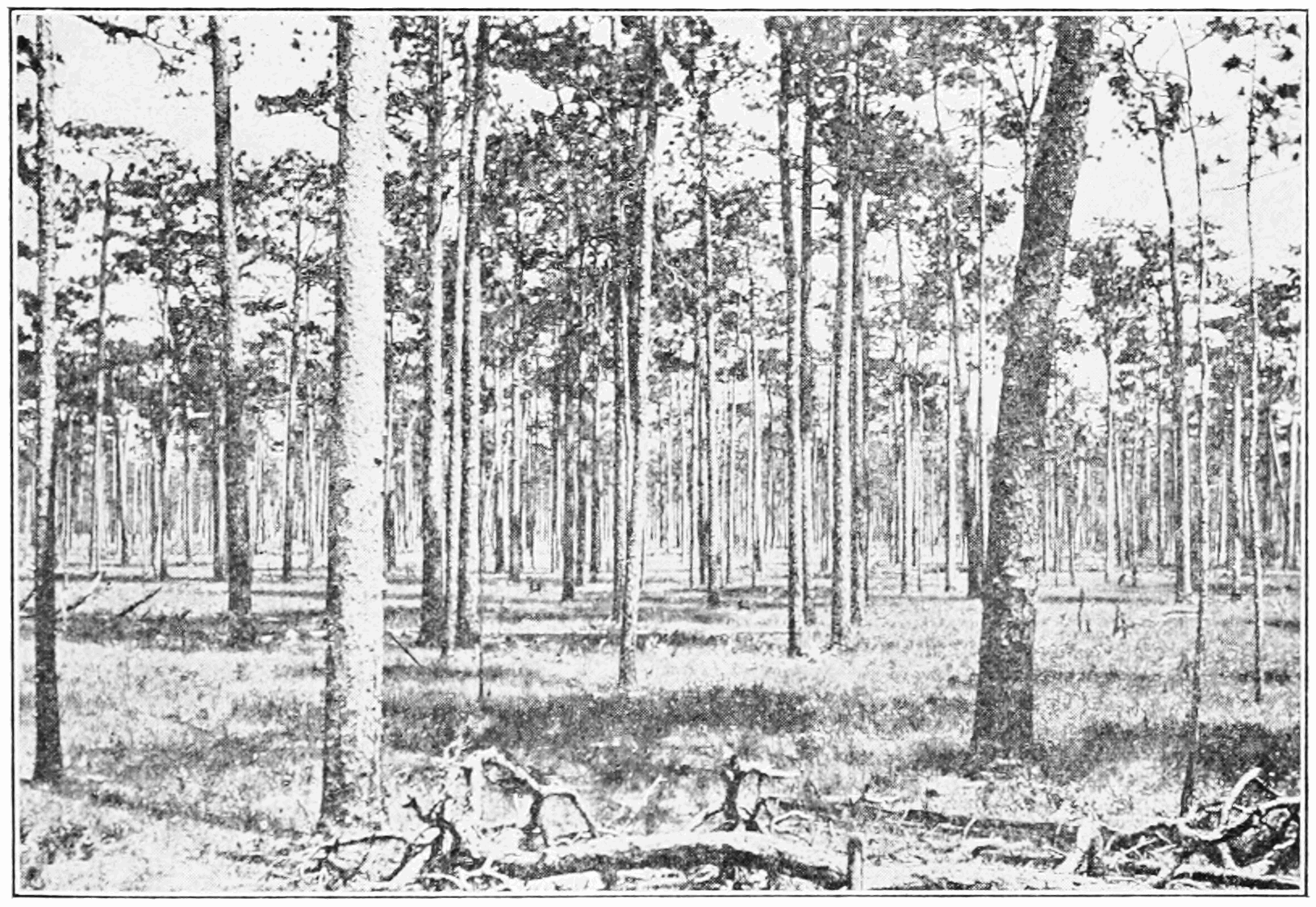 PSM V85 D357 Florida long leaf pine forest with no underbrush.png