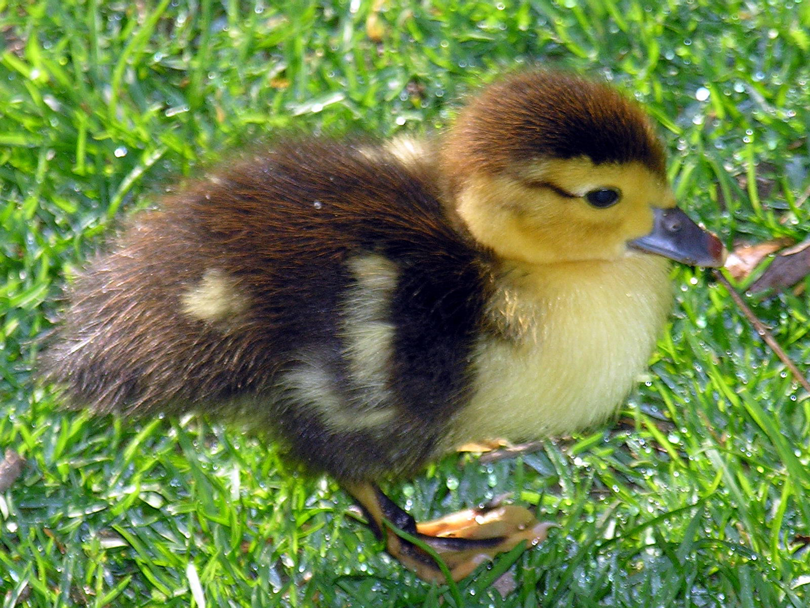 Is Duck Food Bad For Dogs