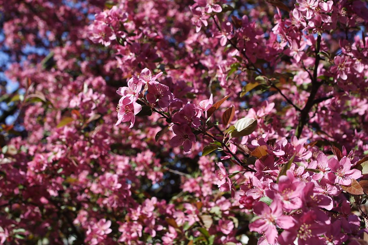 File Pink tree flowers spring West Virginia ForestWander Wikimedia