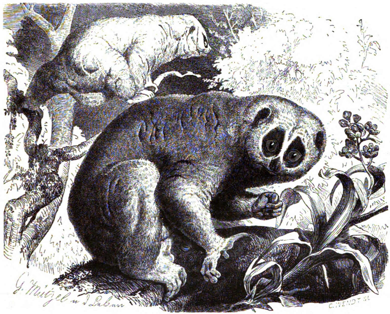 http://upload.wikimedia.org/wikipedia/commons/a/a6/Plumplori_%28Stenops_tardigradus%29.png