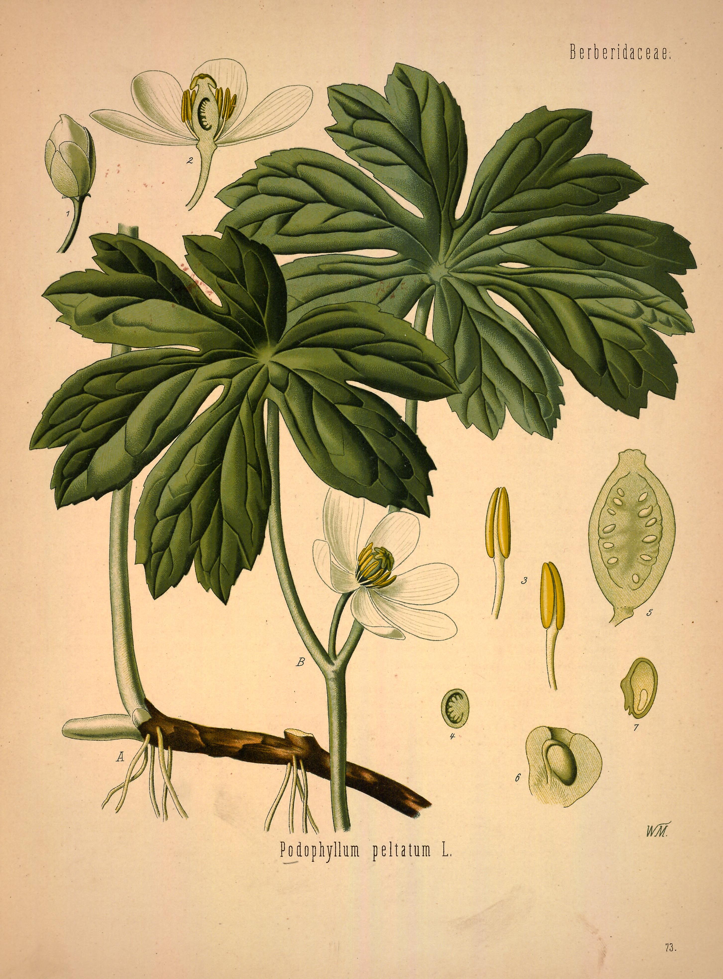 File Podophyllum Peltatum Köhler S Medizinal Pflanzen 246 0383