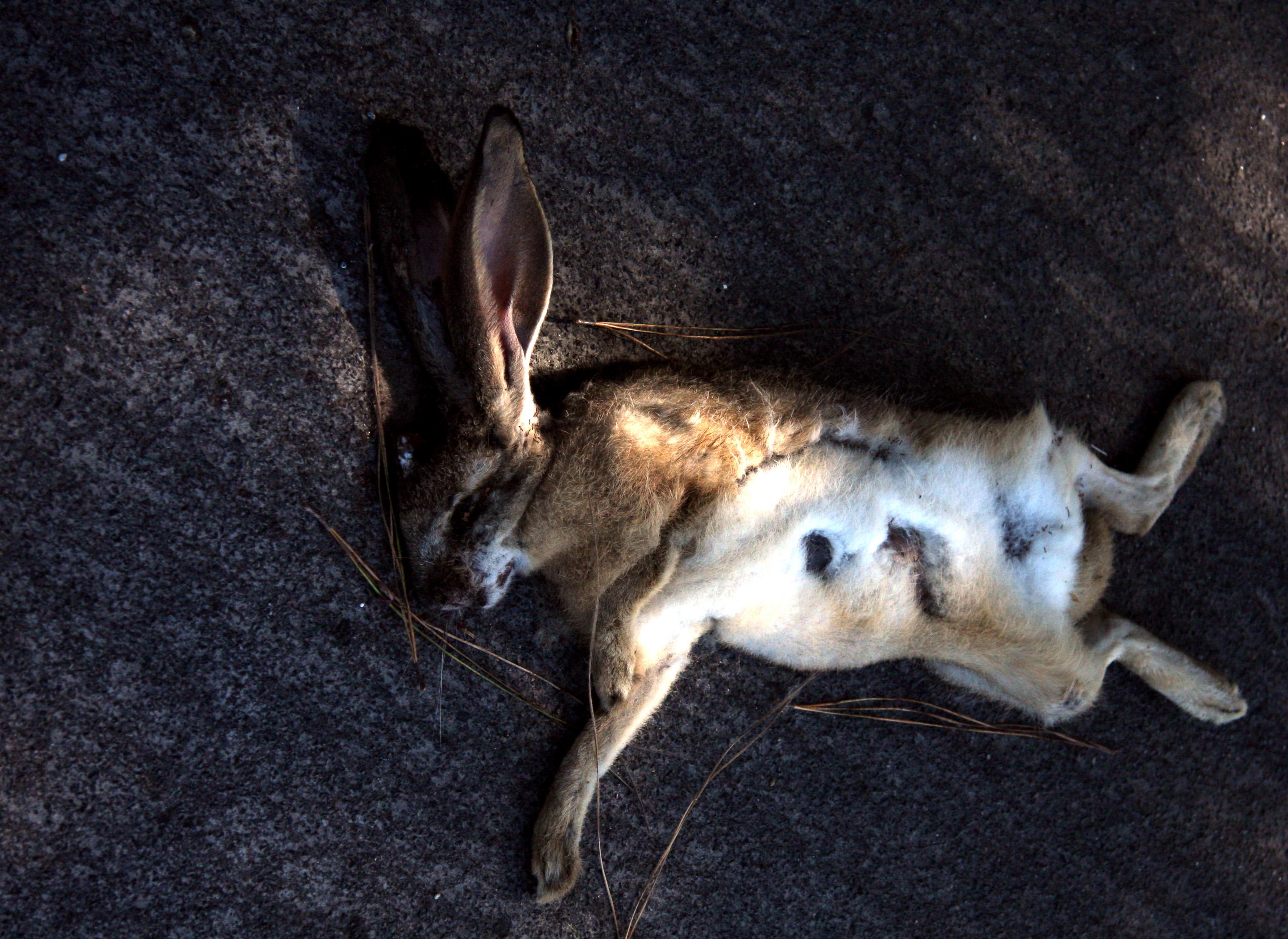 Dead Roadkill Rabbit