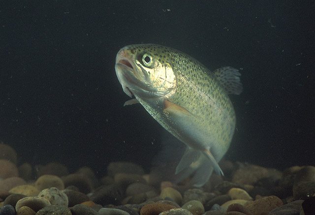 File:RainbowTrout.jpg