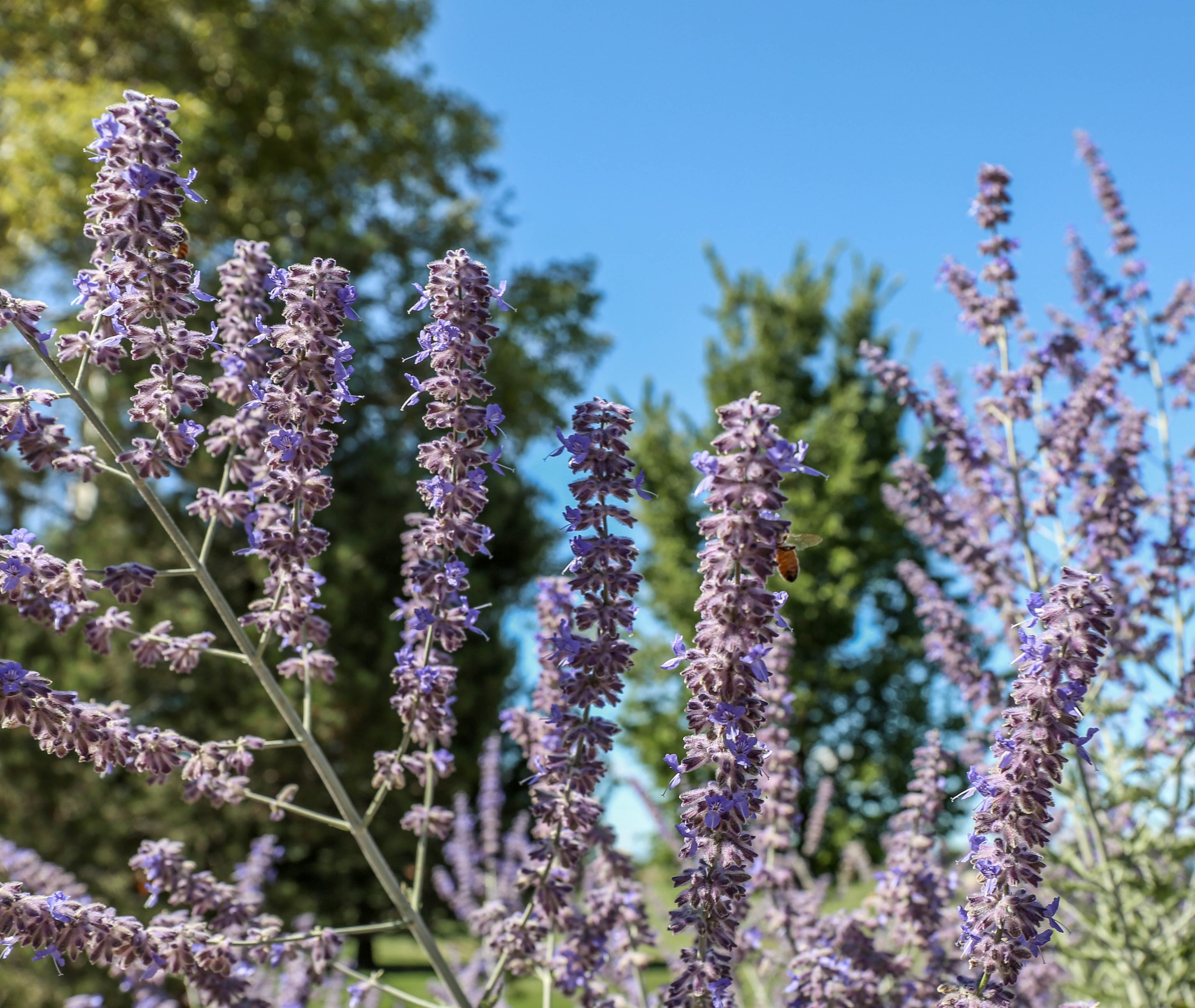 Image result for russian sage