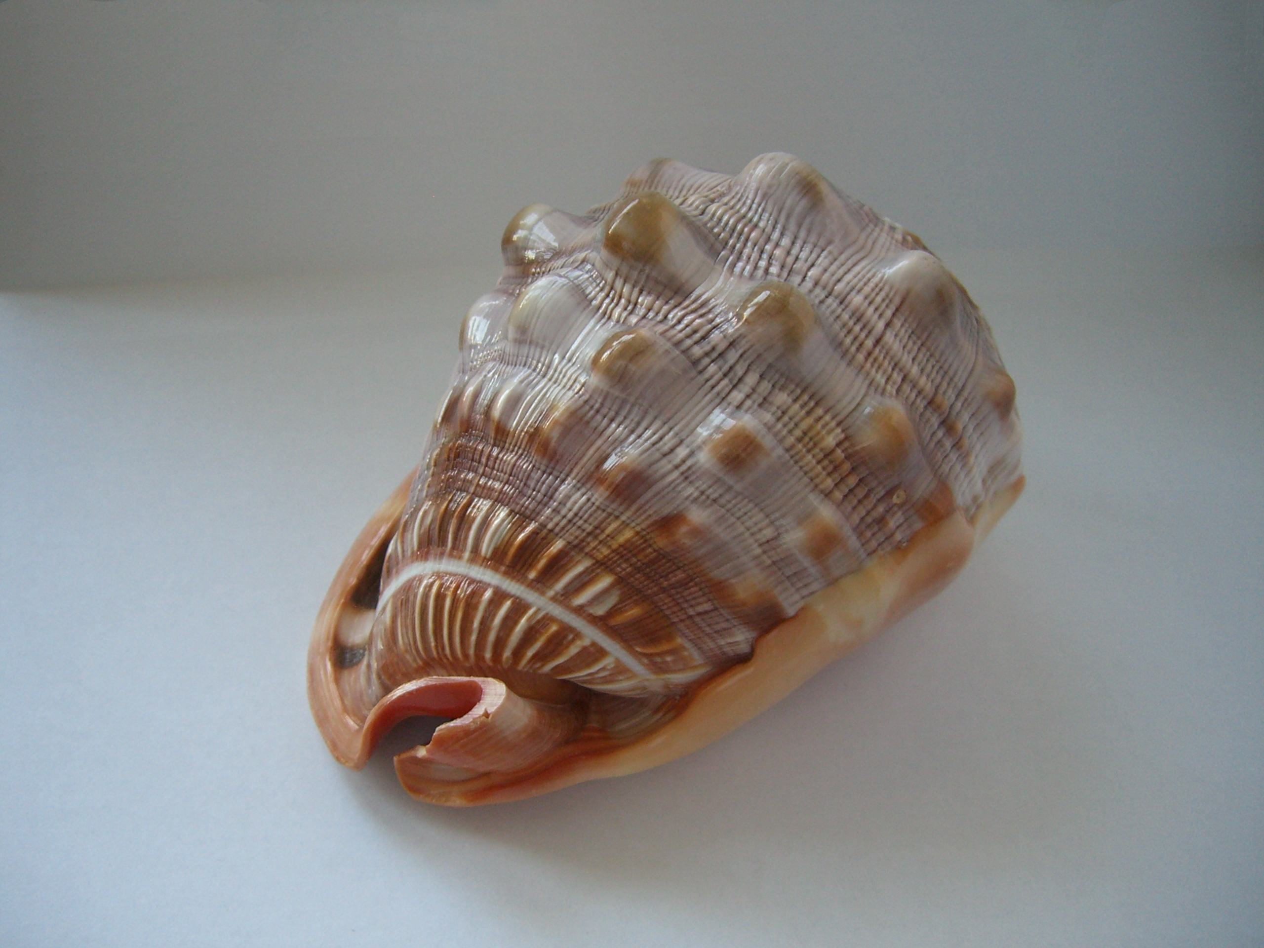 Http Commons Wikimedia Org Wiki File Seashell Unknown Jpg