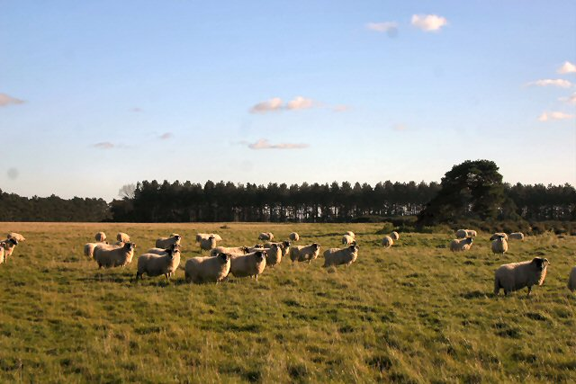 File:Sheep may safely graze - geograph.org.uk - 276066.jpg