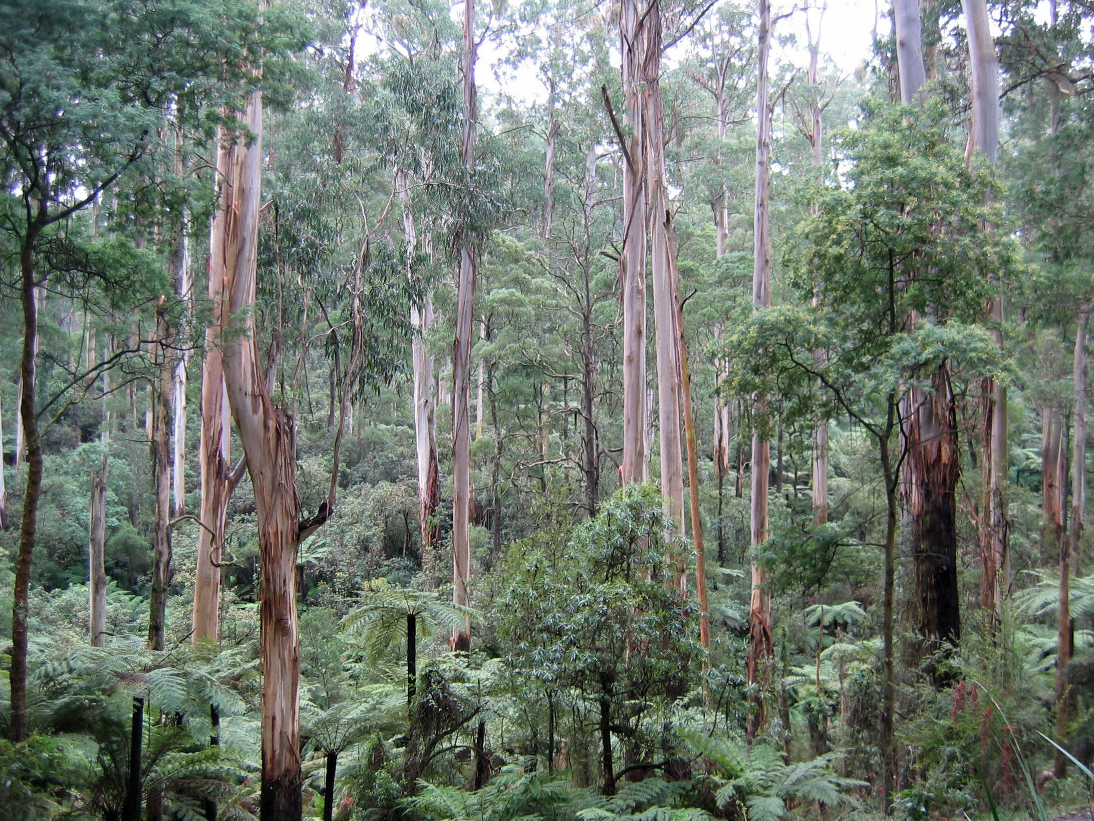 Sherbrooke Australia  city images : Sherbrooke forest Victoria 220rs Wikimedia Commons