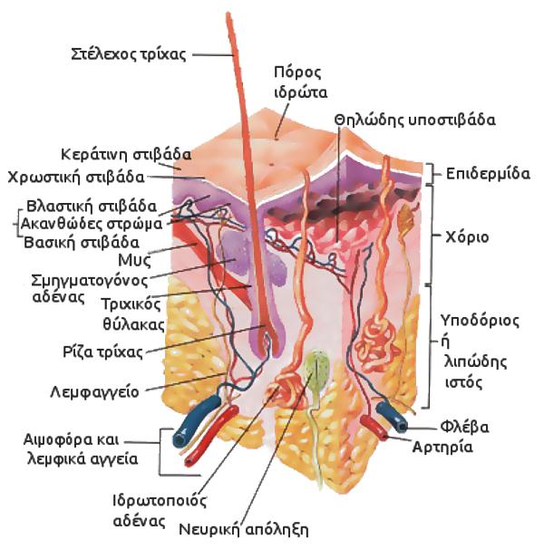 File:Skin anatomy.jpg - Wikimedia Commons