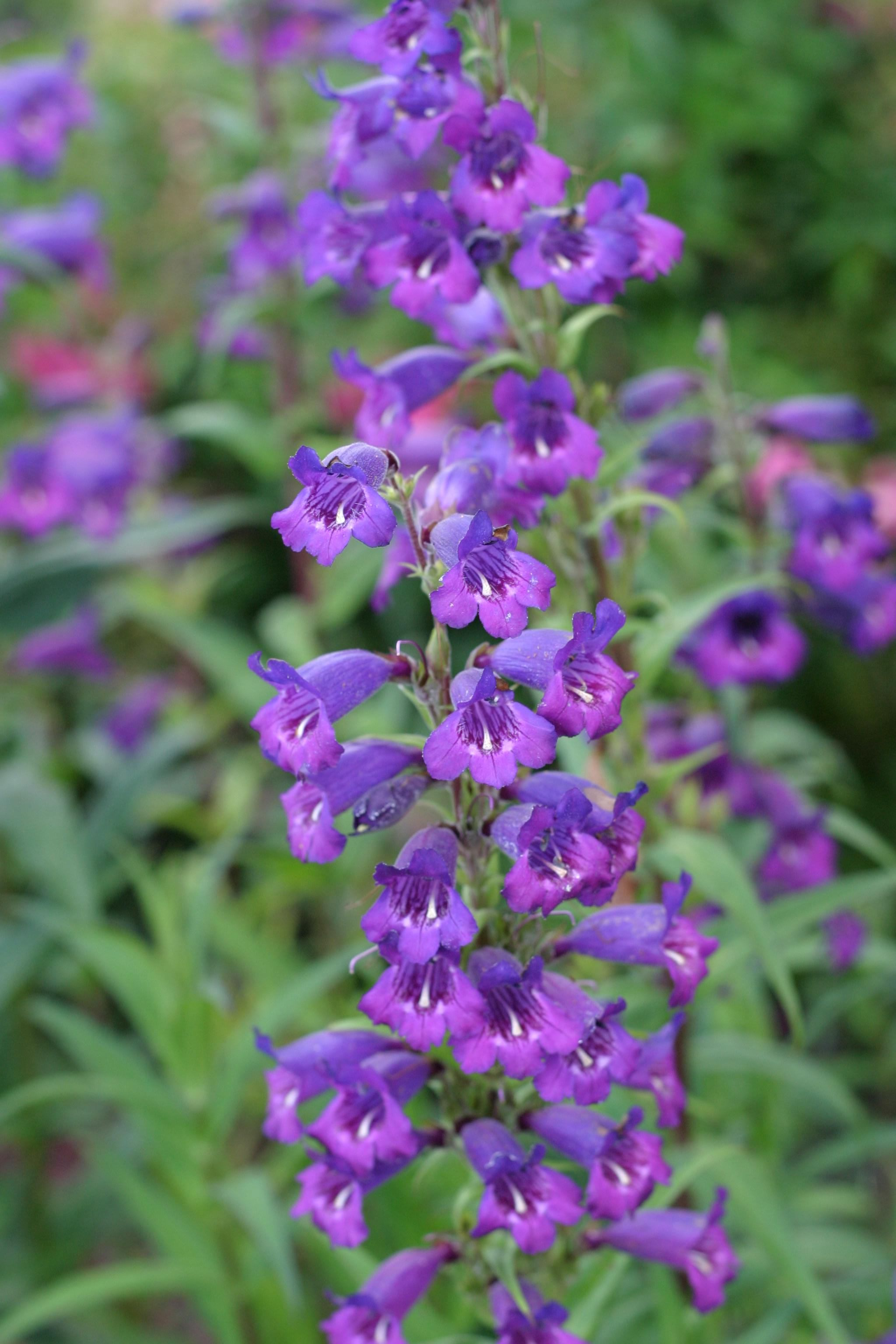 File Small purple flowers Wikimedia mons
