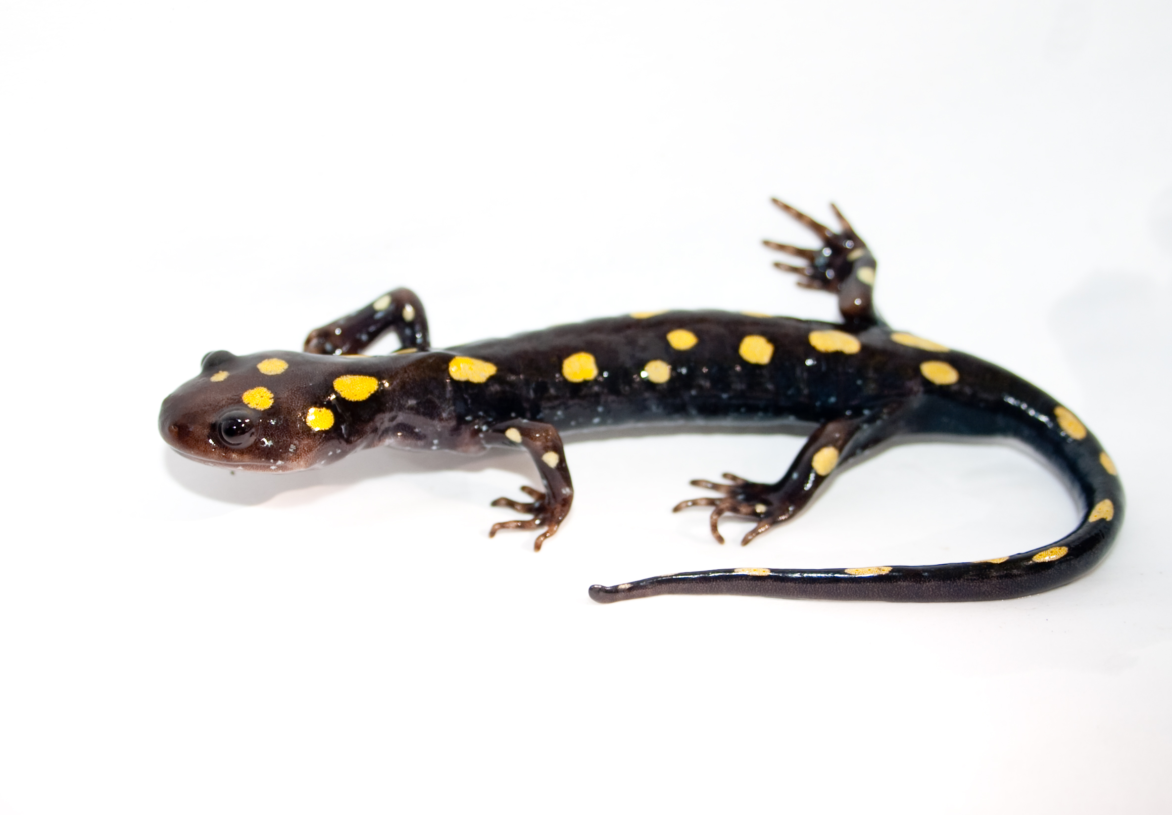 List of amphibians of Alabama - Wikipedia, the free encyclopedia