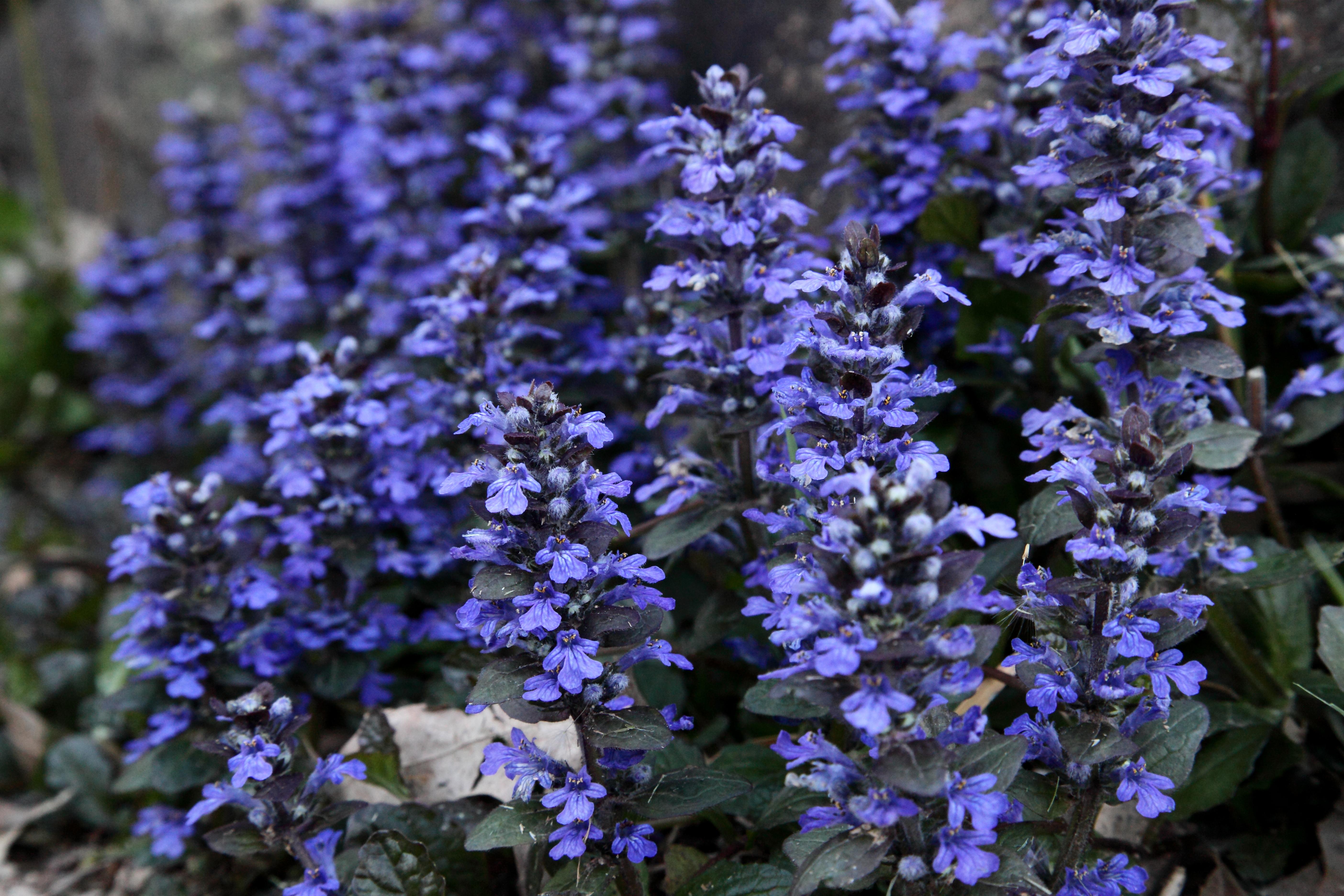 Filespring Blue Flowers Macro Leaves West Virginia Forestwander