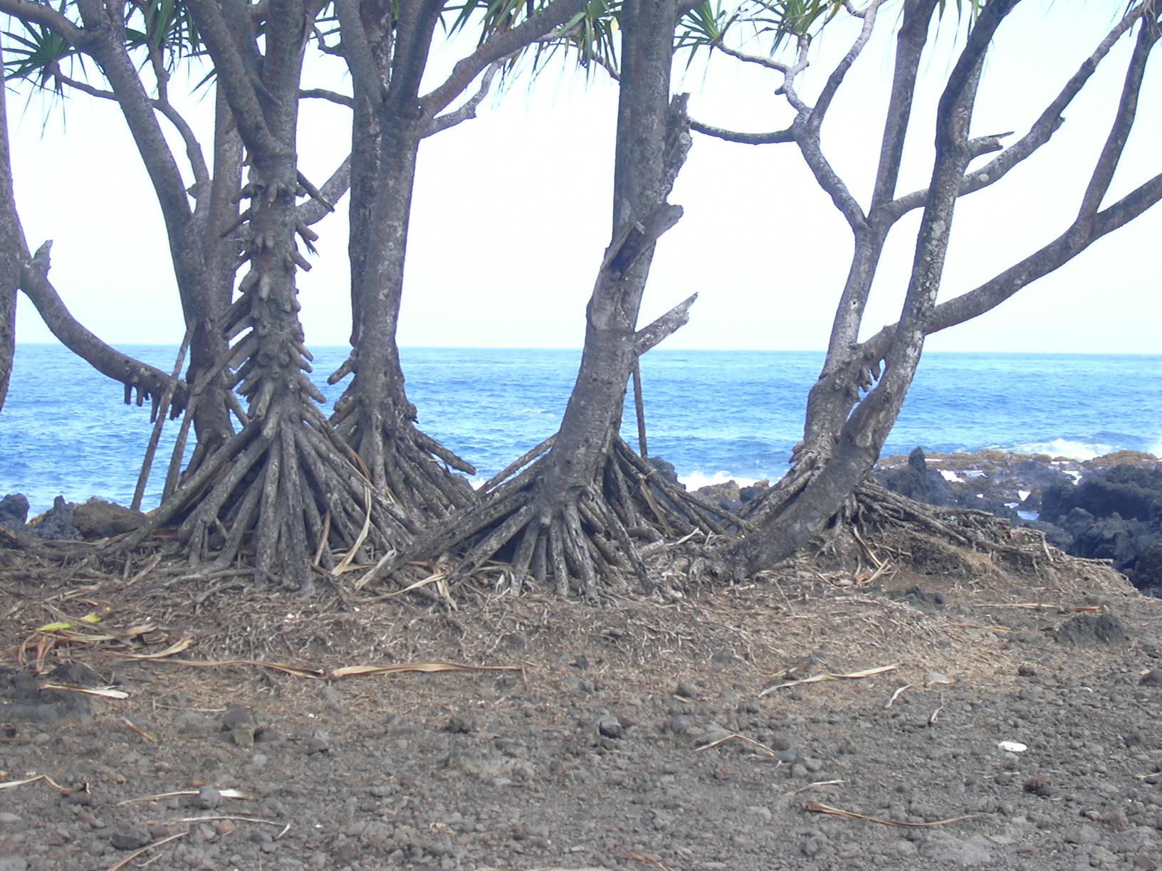 File:Starr-040209-0138-Pandanus tectorius-prop roots-Keanae