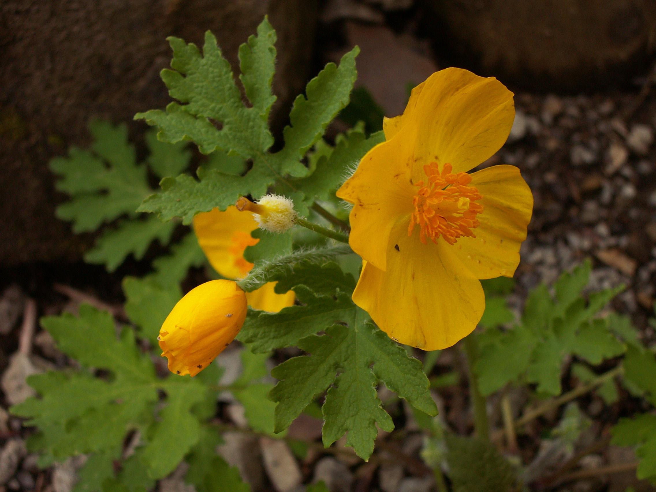 Filestylophorum Diphyllum 2015 05 01 Trillium Trail 02g
