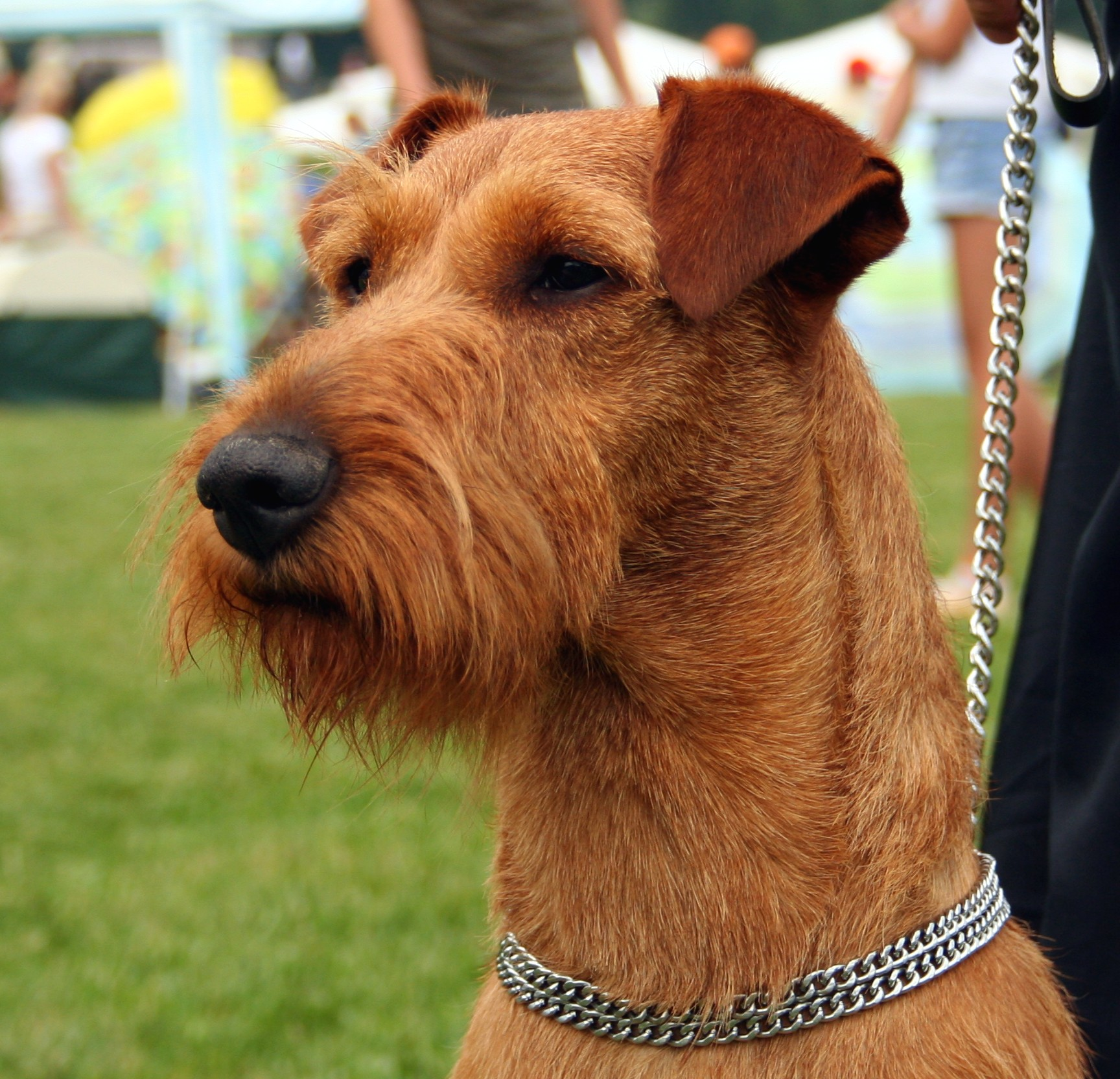 Dog Irish Terrier Information For Kids